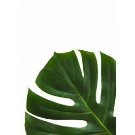 Filodendron - plakat